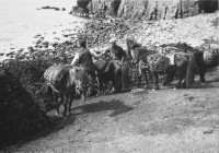 Shetland ponies being relieved of their loads of peat, Fetlar, Shetland, 1930. On their backs are riva kishies, or nets, and woven straw kishies. Scottish Life Archive