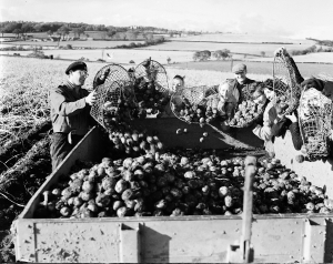 Wire potato baskets, Inverkeithing schools helping at Spencerfield Farm tattie harvest in Fife, November 1954