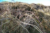 Bramble stems, Isle of Great Bernera