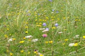 Marram grass growing on machair, Isle of Lewis
