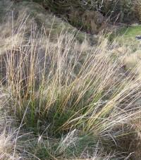 Soft Rush in March. Isle of Great Bernera